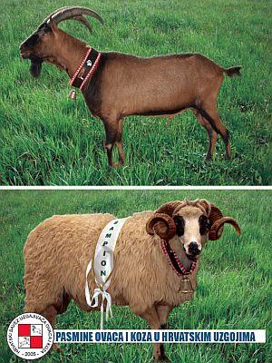 Knjiga: Pasmine ovaca i koza u hrvatskim uzgojima
